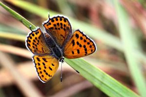 LYCAENA THERSAMON by lisans