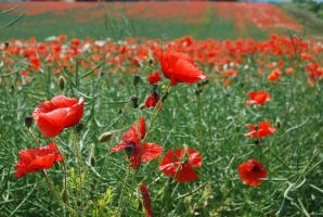 Pretty Poppies by mr-macd