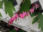 bleeding hearts by midnightjourney