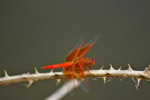 Red Dragonfly by Siruis201