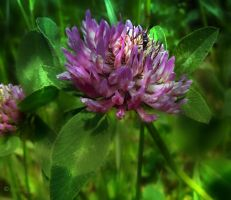 Red Clover 2 by Lupsiberg