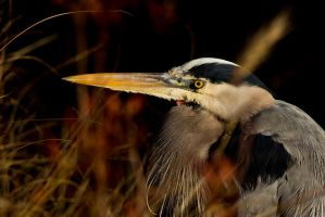 Heron 3 by bovey-photo
