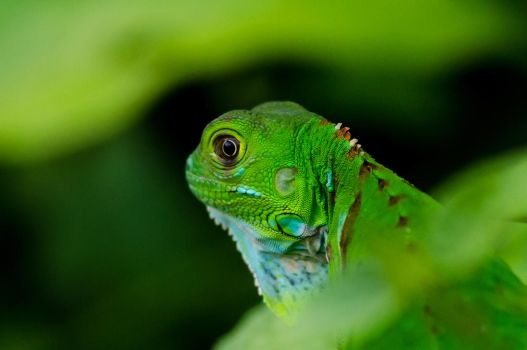 Baby Green Iguana by do7slash