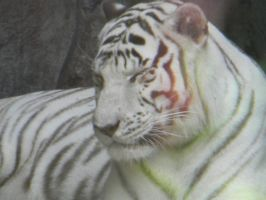 White Tiger 2 by RainbowCartilage