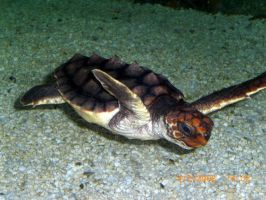 Spined Sea Turtle by Lily-Hith-Silme
