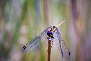 DragonFly by JussyD