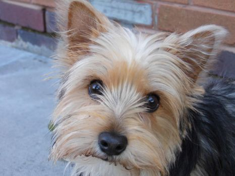 Yorkie-Westie Mix by boobyr00de