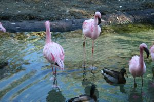 Flamingos by elf-fu-stock