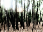 Slender Trees [re-launched] by AllAboutDianne