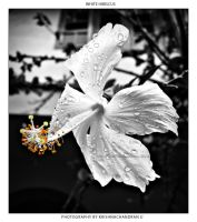 White Hibiscus by krishnachandranu