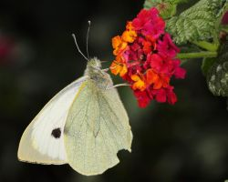 cabbage white by mgm-photo