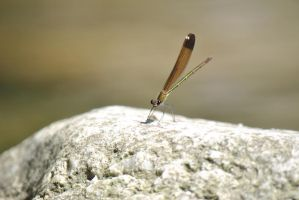 Dragonfly by Swaal