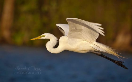 Egret in Flight by RHCheng