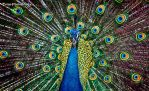 Peacock by WindyLife