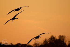 Sandhill Crane Migration 05 by JohnSlaughter