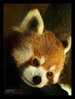 Red Panda by zerofunk