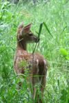 A Fawn in Tall Grass 5 by Windthin