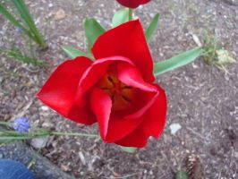 tulips 03 by goblincreations