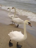 Stock 137: swans on seashore 2 by AlzirrSwanheartStock