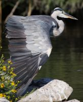 Grey Heron by Pharmagician