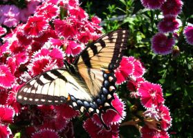 Tiger Swallowtail on Dianthus by Foozma73