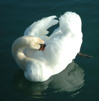 Stock - Swan 4 by Cleonor