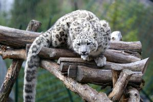 Snow Leopard by Vanell-Photography