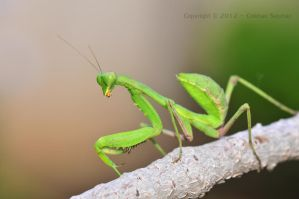 MANTIS by GokhanSaymaz