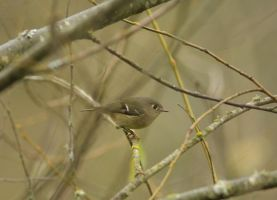 Golden Crowned Kinglet by queegqueg