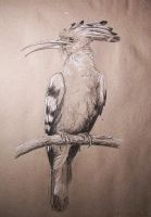 Hoopoe by Concini
