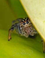 Hiding jumping spider 001 by otas32