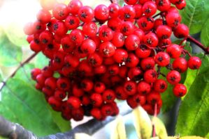 Flowers, Berries And Leaves 27 September 2015 50 F by LUSHMONTANAS
