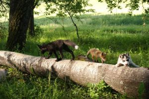 Young fox and puppies husky3 by foxsvir