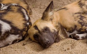 African painted dog by c-button