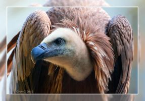 Griffon Vulture by RoyallyCrimson