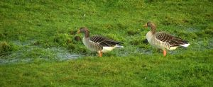 Greylag Geeze - the leading couple by steppeland