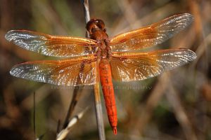 Huge red dragonfly by InspiraSean