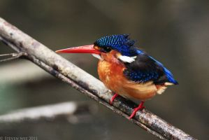 Blue-eared Kingfisher 01 by garion