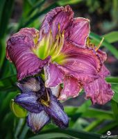 Pink and Purple Lily's by mjohanson