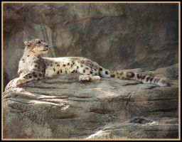 Snow Leopard Lounging by RxPhoto