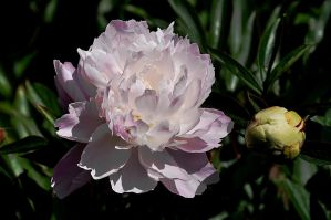 Oceanside Peony by pinestater234