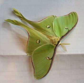 luna moth by shnarfle-stock