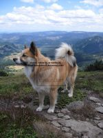 icelandic dog, kingdom by ArinantWolf