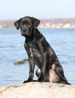 Little Miss Cane Corso by SaNNaS