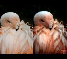 Preening Flamingo: Before/After: by braxtonds