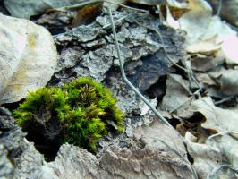 Moss upon leaves... by thaddman