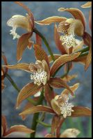 Cymbidium Orchids. by Firey-Sunset
