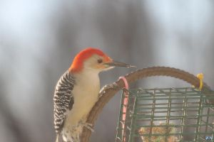 Red-Bellied Woodpecker #2 by LifeThroughALens84