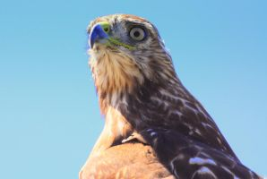Portrait of  a Hawk.... by smfoley