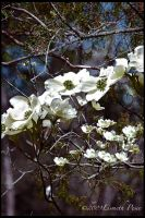 White Flowers by Capricuario